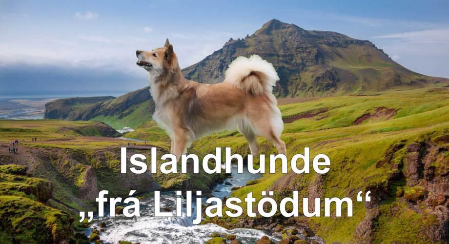 """Islandhunde """"frá Liljastödum"""""""